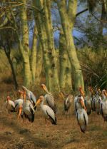 Gorongosa_-_yellow_billed_storks