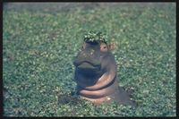 Hippo_paul_dutton